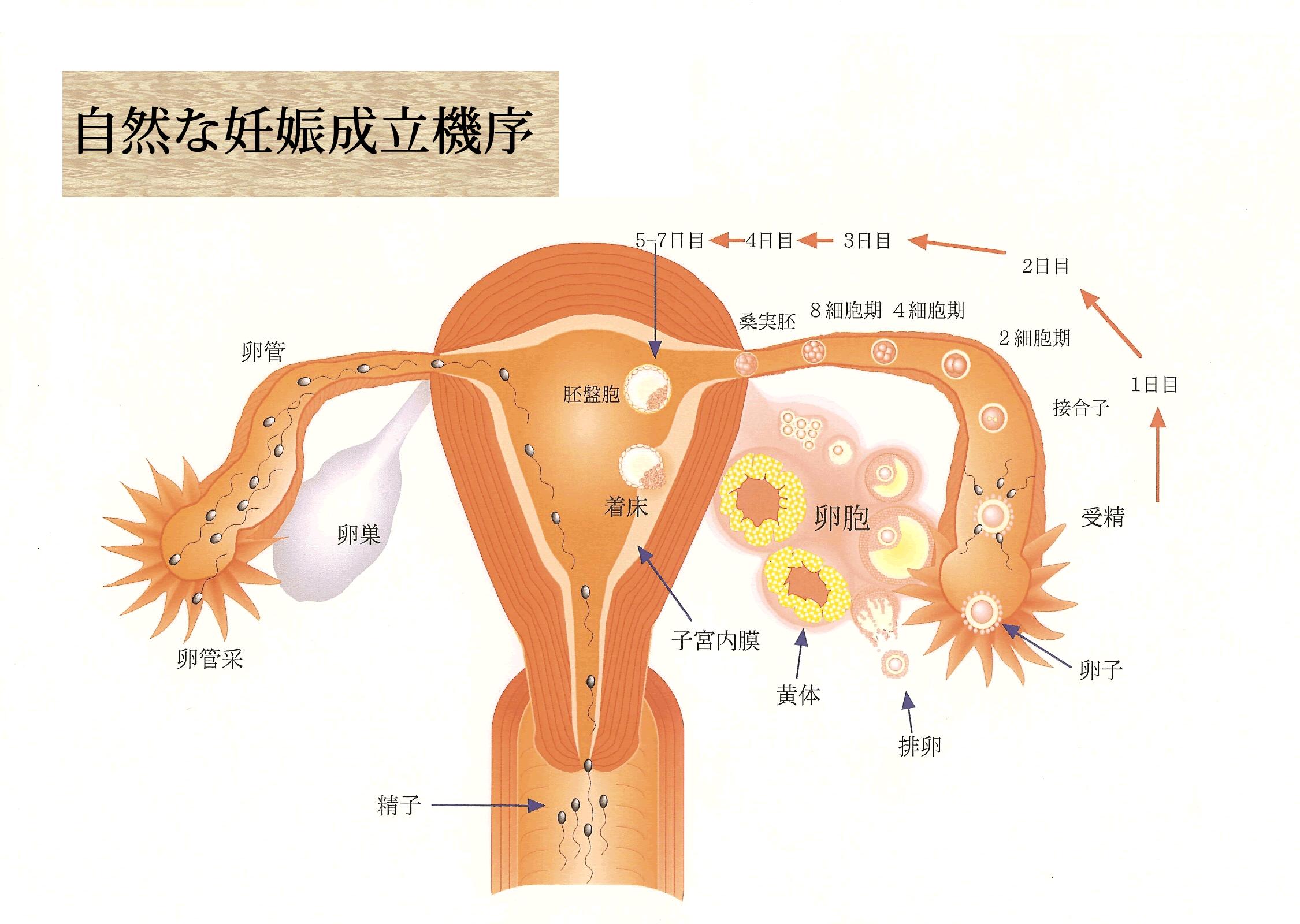 自然な妊娠成立機序